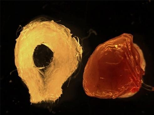 Ткани желудка из СК