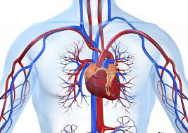 Сердце и сосудистая система
